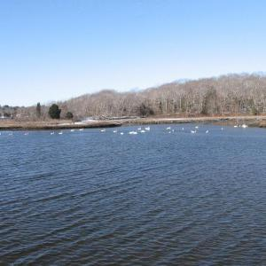 Swans on the Slocum River